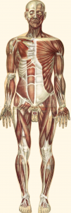 muscular_system-2-3
